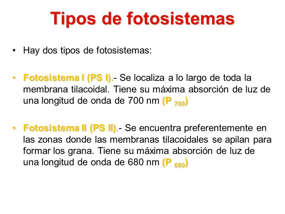 Tipos de fotosistemas Hay dos tipos de fotosistemas: Fotosistema I (PS I). (P 700 )Fotosistema I (PS I).- Se localiza a lo largo de toda la membrana t
