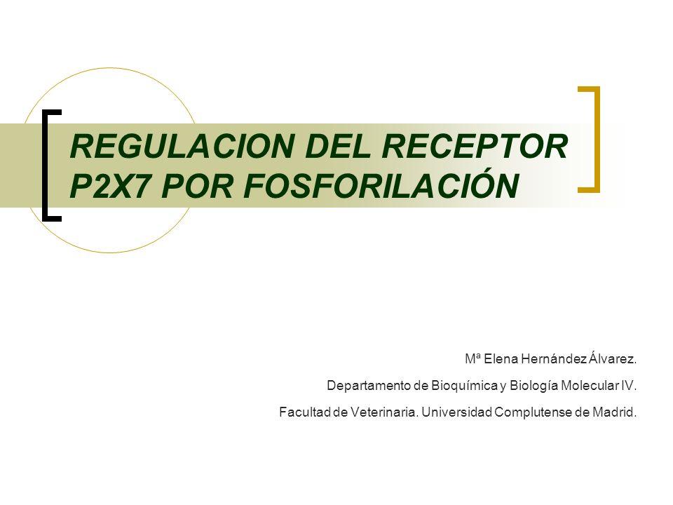 REGULACION DEL RECEPTOR P2X7 POR FOSFORILACIÓN Mª Elena Hernández Álvarez. Departamento de Bioquímica y Biología Molecular IV. Facultad de Veterinaria