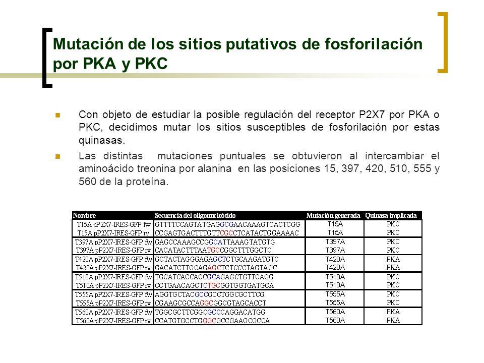 Mutación de los sitios putativos de fosforilación por PKA y PKC Con objeto de estudiar la posible regulación del receptor P2X7 por PKA o PKC, decidimo