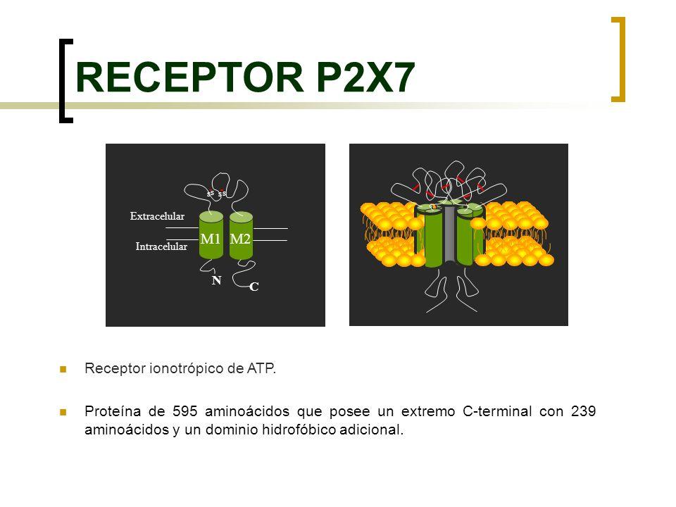 RECEPTOR P2X7 Receptor ionotrópico de ATP. Proteína de 595 aminoácidos que posee un extremo C-terminal con 239 aminoácidos y un dominio hidrofóbico ad