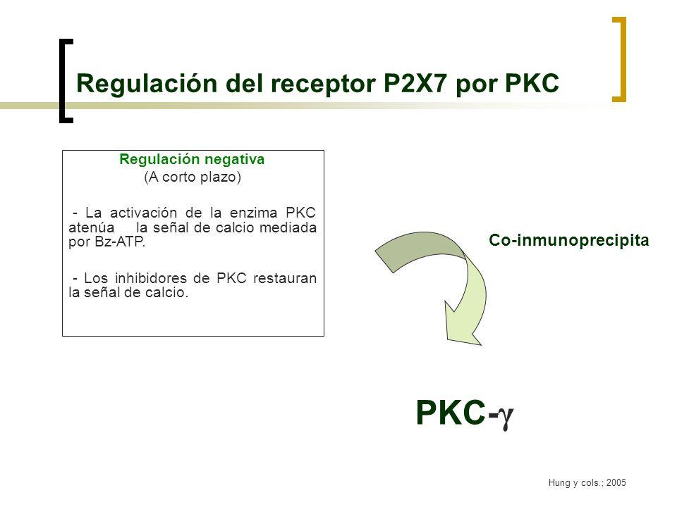 Regulación del receptor P2X7 por PKC Hung y cols.; 2005 Regulación negativa (A corto plazo) - La activación de la enzima PKC atenúa la señal de calcio