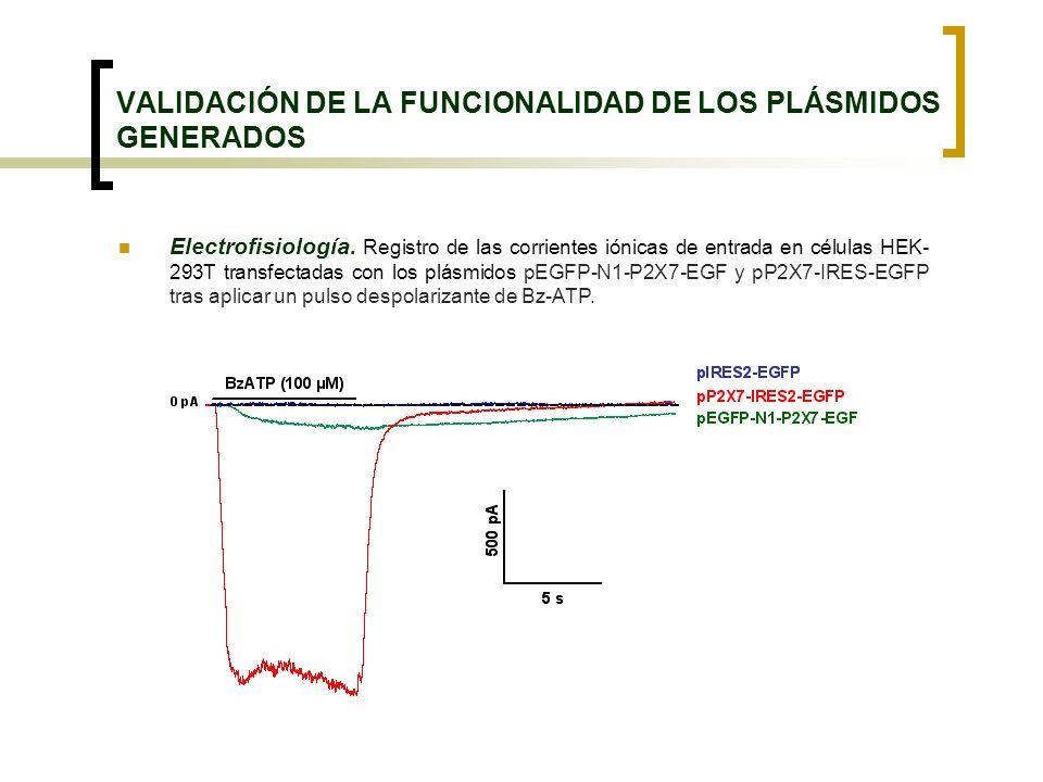 VALIDACIÓN DE LA FUNCIONALIDAD DE LOS PLÁSMIDOS GENERADOS Electrofisiología. Registro de las corrientes iónicas de entrada en células HEK- 293T transf