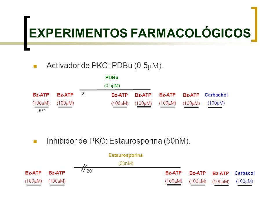 2 Activador de PKC: PDBu (0.5 μM). Inhibidor de PKC: Estaurosporina (50nM). EXPERIMENTOS FARMACOLÓGICOS PDBu (0.5μM) Bz-ATP (100 μ M) Bz-ATP (100 μ M)