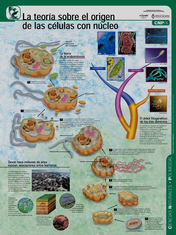 Primary symbiosis: origin of nucleus P. López-García and D. Moreira (2001)