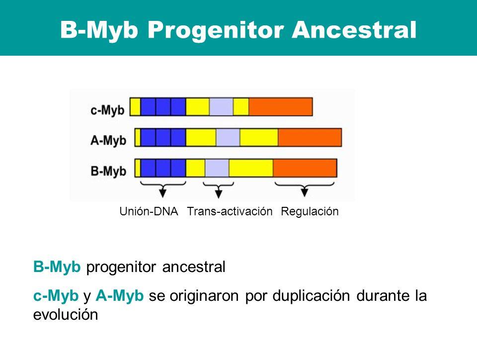 B-Myb Progenitor Ancestral RegulaciónTrans-activaciónUnión-DNA B-Myb progenitor ancestral c-Myb y A-Myb se originaron por duplicación durante la evolu