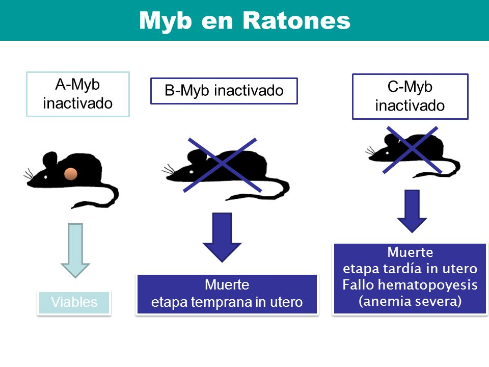 Ratones homocigotos A-Myb inactivado Viables C-Myb inactivado Muerte etapa tardía in utero Fallo hematopoyesis (anemia severa) Muerte etapa tardía in