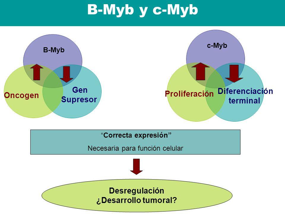 B-Myb y c-Myb Correcta expresión Necesaria para función celular Gen Supresor Oncogen B-Myb Diferenciación terminal Proliferación c-Myb Desregulación ¿