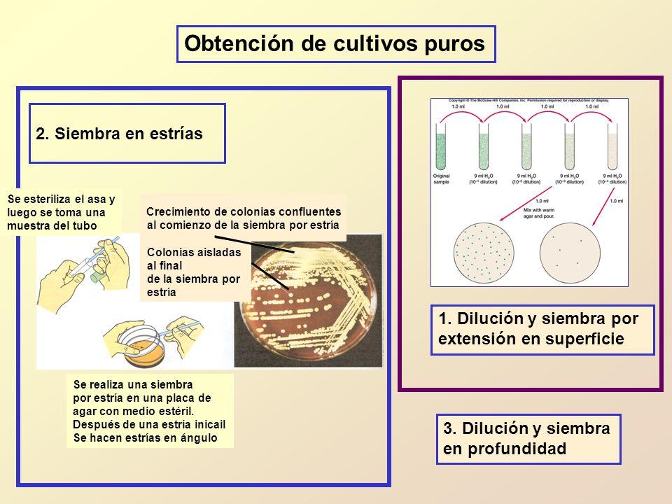 1. Dilución y siembra por extensión en superficie Obtención de cultivos puros 3. Dilución y siembra en profundidad Crecimiento de colonias confluentes