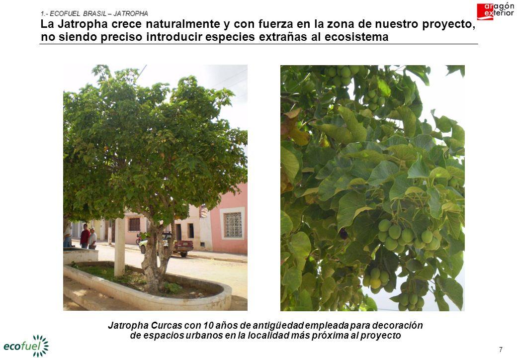 6 2.- ECOFUEL BRASIL – JATROPHA Una de las alternativas de integración más interesantes en los cultivos energéticos es la Jatropha Curcas, la gran esp