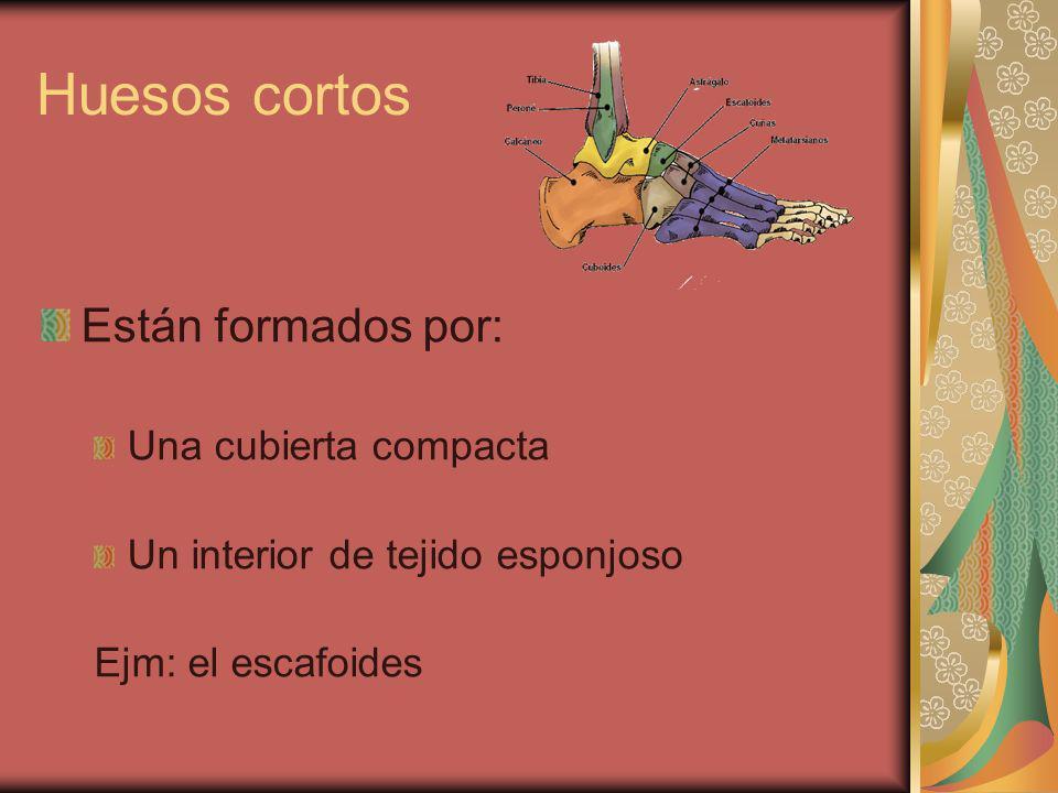Huesos cortos Están formados por: Una cubierta compacta Un interior de tejido esponjoso Ejm: el escafoides