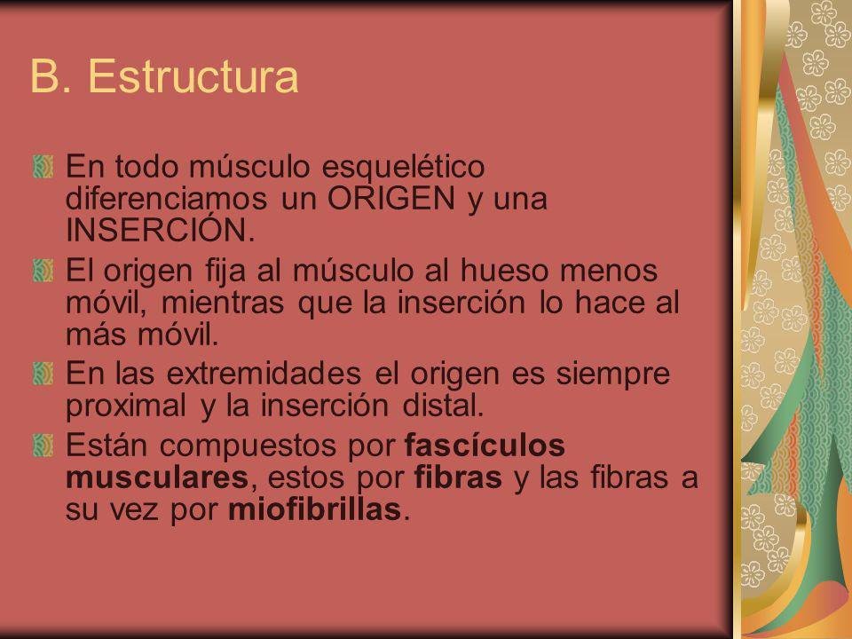B. Estructura En todo músculo esquelético diferenciamos un ORIGEN y una INSERCIÓN. El origen fija al músculo al hueso menos móvil, mientras que la ins
