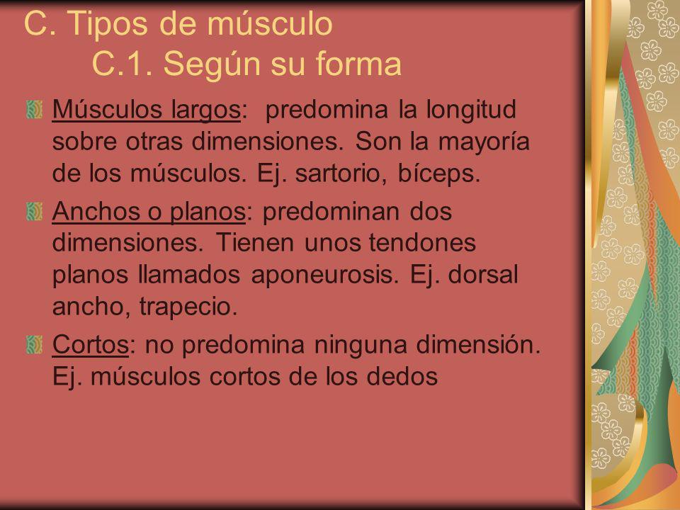C. Tipos de músculo C.1. Según su forma Músculos largos: predomina la longitud sobre otras dimensiones. Son la mayoría de los músculos. Ej. sartorio,