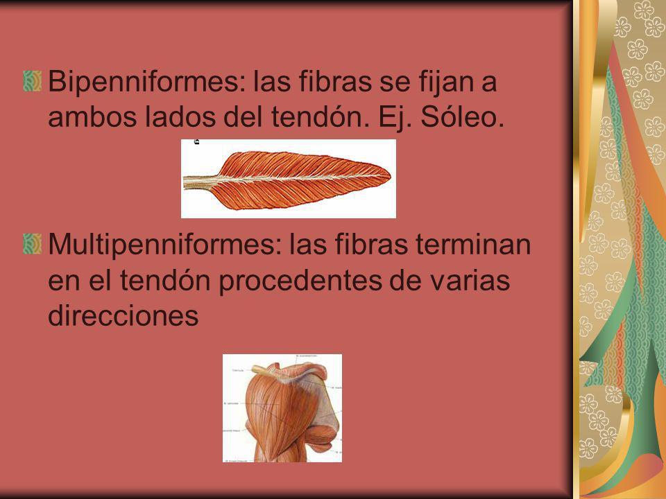 Bipenniformes: las fibras se fijan a ambos lados del tendón. Ej. Sóleo. Multipenniformes: las fibras terminan en el tendón procedentes de varias direc