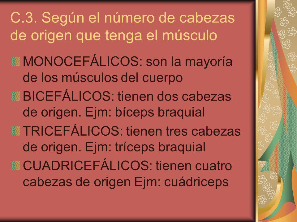 C.3. Según el número de cabezas de origen que tenga el músculo MONOCEFÁLICOS: son la mayoría de los músculos del cuerpo BICEFÁLICOS: tienen dos cabeza
