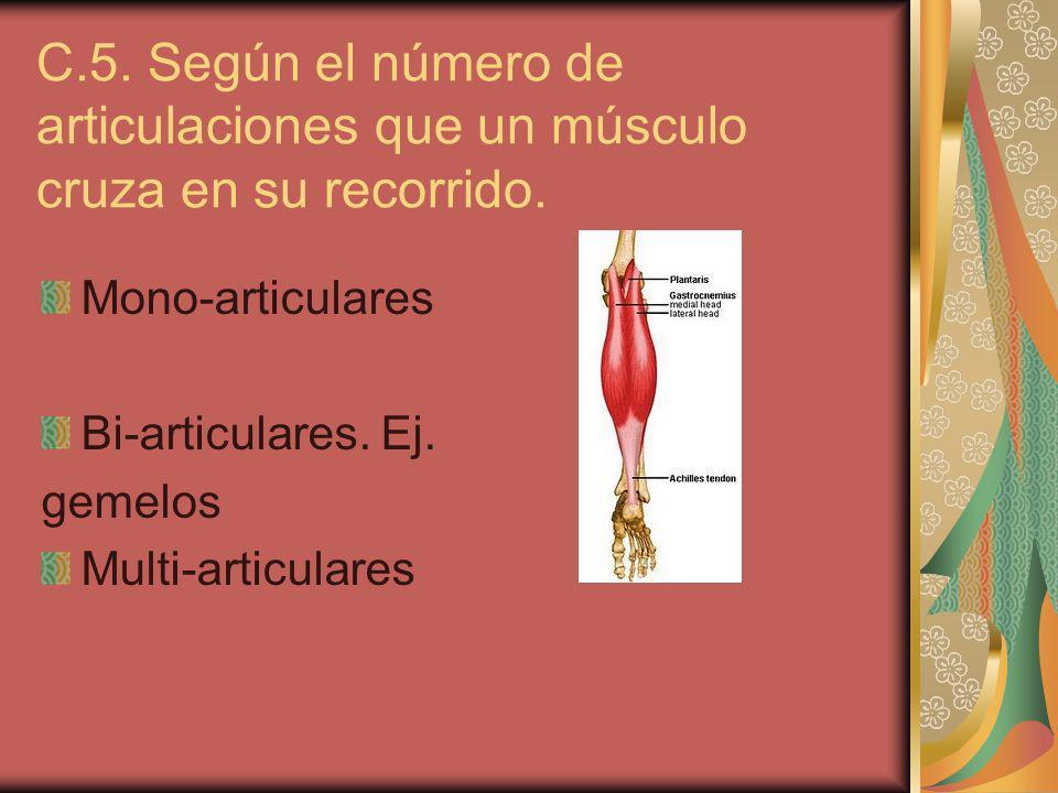 C.5. Según el número de articulaciones que un músculo cruza en su recorrido. Mono-articulares Bi-articulares. Ej. gemelos Multi-articulares