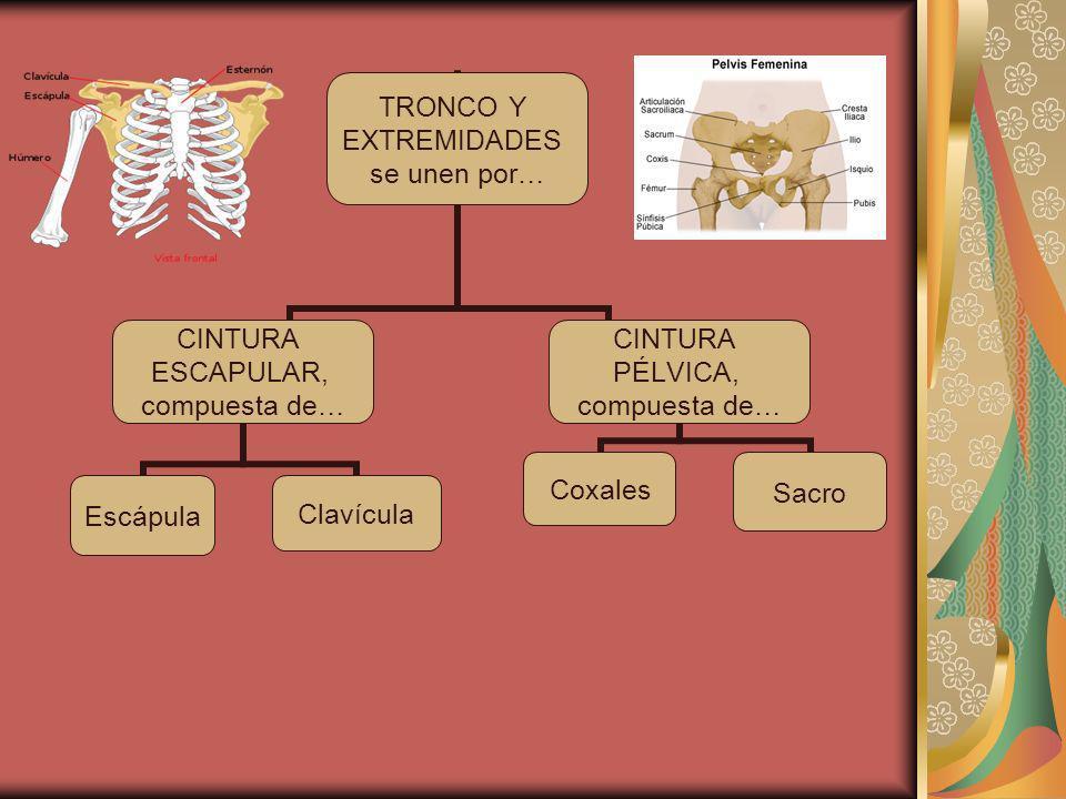 TRONCO Y EXTREMIDADES se unen por… CINTURA ESCAPULAR, compuesta de… EscápulaClavícula CINTURA PÉLVICA, compuesta de… SacroCoxales