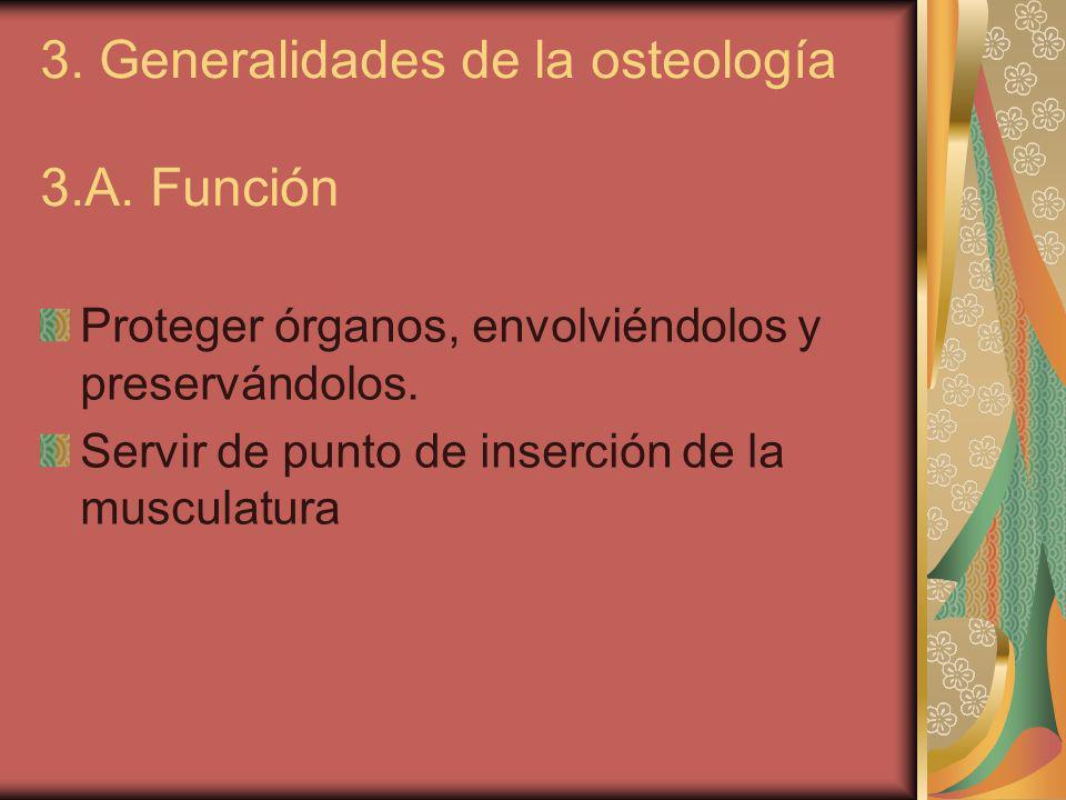 3.B.Tipos de huesos 1. Huesos largos (huesos longitudinales).