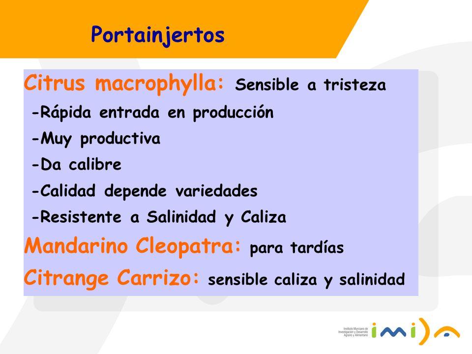 Portainjertos Citrus macrophylla: Sensible a tristeza -Rápida entrada en producción -Muy productiva -Da calibre -Calidad depende variedades -Resistent