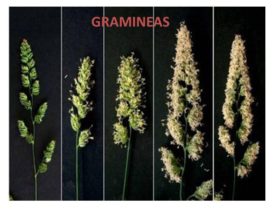 GRAMINEAS