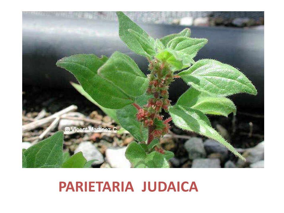 PARIETARIA JUDAICA