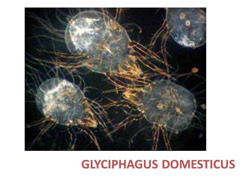 GLYCIPHAGUS DOMESTICUS