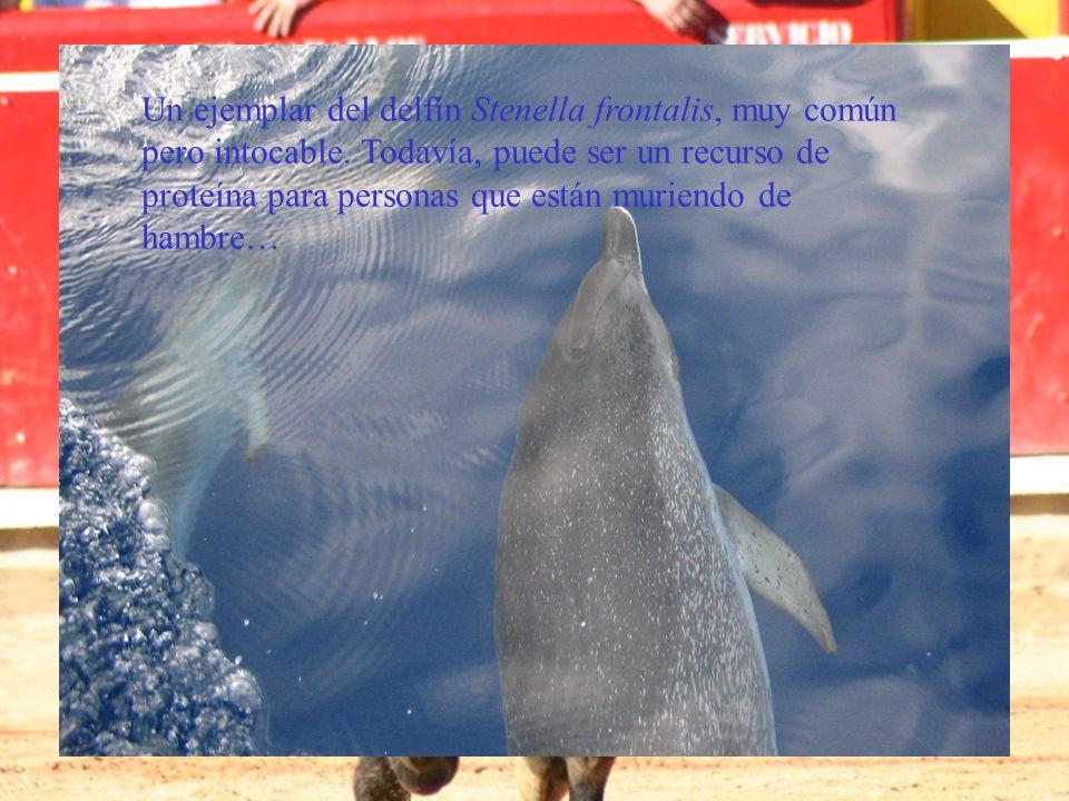 Un ejemplar del delfín Stenella frontalis, muy común pero intocable. Todavía, puede ser un recurso de proteína para personas que están muriendo de ham