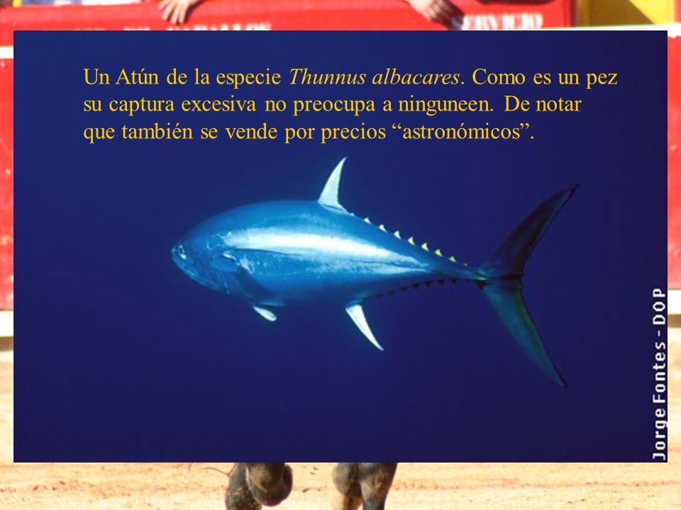 Un Atún de la especie Thunnus albacares. Como es un pez su captura excesiva no preocupa a ninguneen. De notar que también se vende por precios astronó