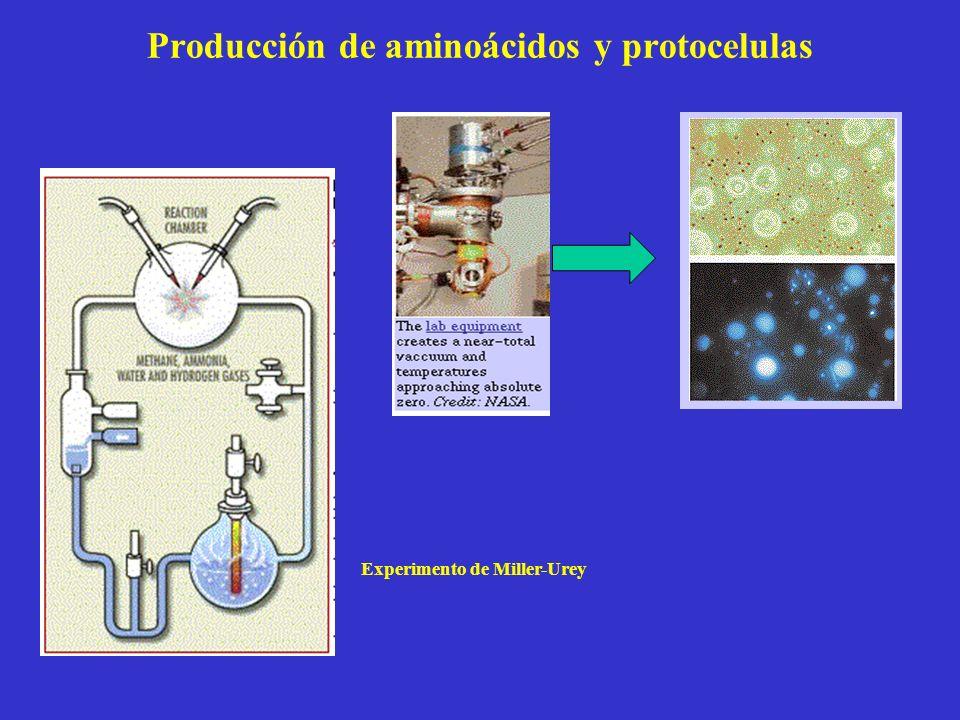 Producción de aminoácidos y protocelulas Experimento de Miller-Urey