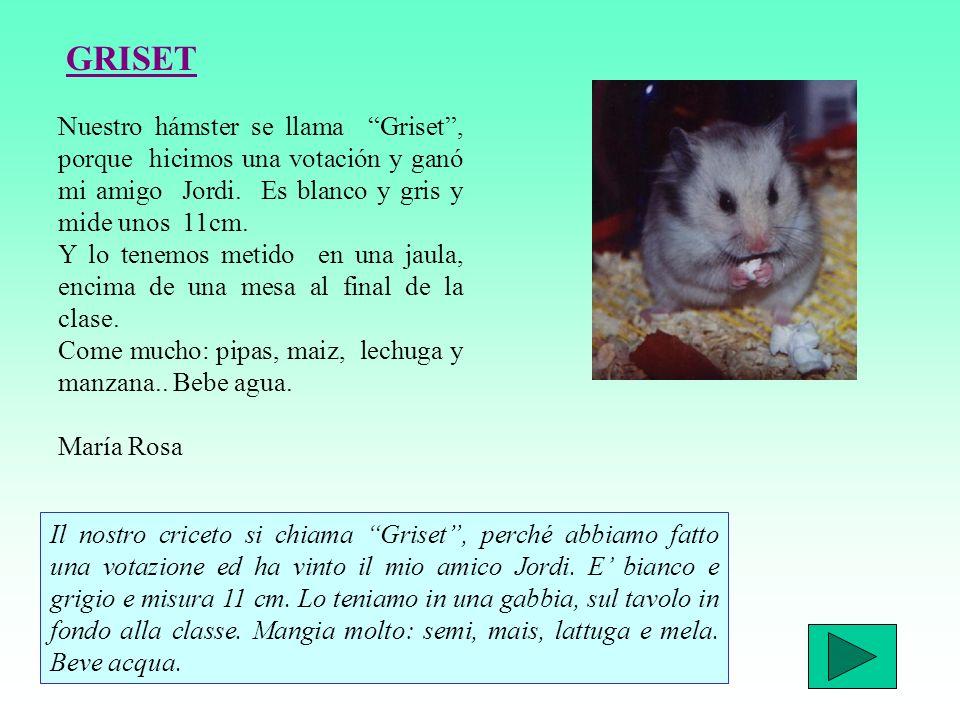 Nuestro hámster se llama Griset, porque hicimos una votación y ganó mi amigo Jordi.