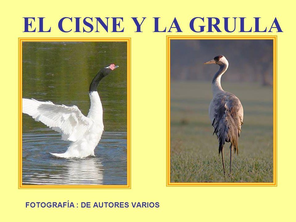 EL CISNE Y LA GRULLA FOTOGRAFÍA : DE AUTORES VARIOS