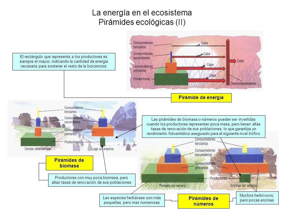 La energía en el ecosistema Pirámides ecológicas (II) El rectángulo que representa a los productores es siempre el mayor, indicando la cantidad de ene