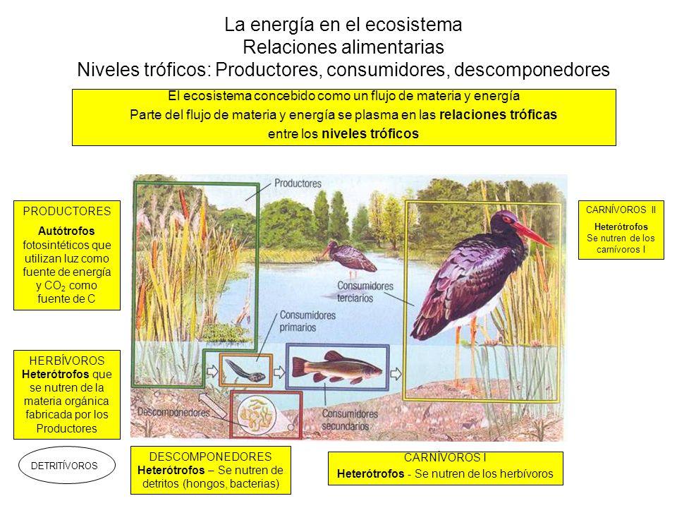 La energía en el ecosistema Relaciones alimentarias Cadenas y redes tróficas (I) PRODUCTORESHERBÍVOROSCARNÍVOROS ICARNÍVOROS II Consumidores primarios Consumidores secundarios Consumidores terciarios NIVELES TRÓFICOS
