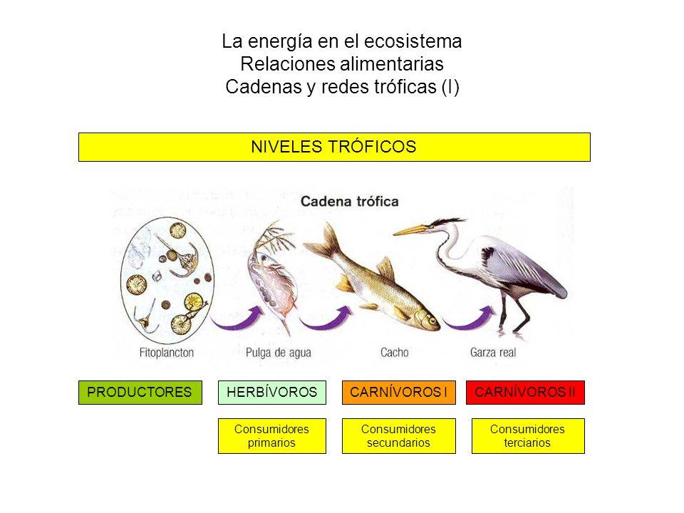La energía en el ecosistema Relaciones alimentarias Cadenas y redes tróficas (I) PRODUCTORESHERBÍVOROSCARNÍVOROS ICARNÍVOROS II Consumidores primarios