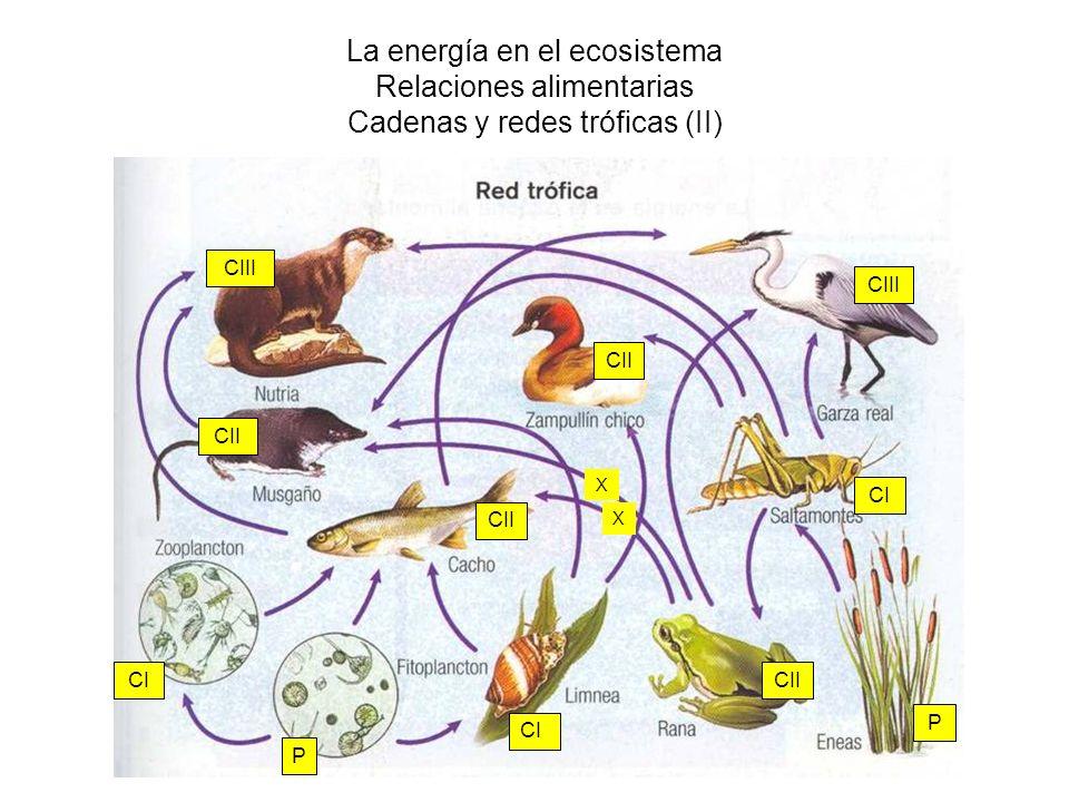 La energía en el ecosistema Relaciones alimentarias Cadenas y redes tróficas (II) CI P P CII CIII CII CIII X X