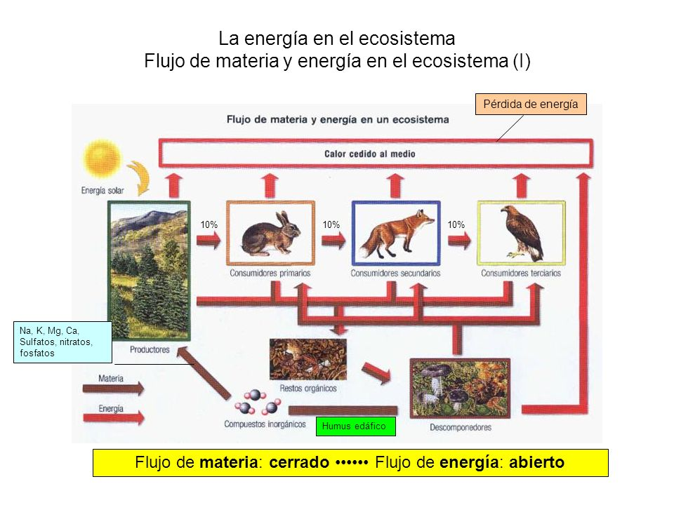 La energía en el ecosistema Flujo de materia y energía en el ecosistema (I) 10% Flujo de materia: cerrado Flujo de energía: abierto Pérdida de energía