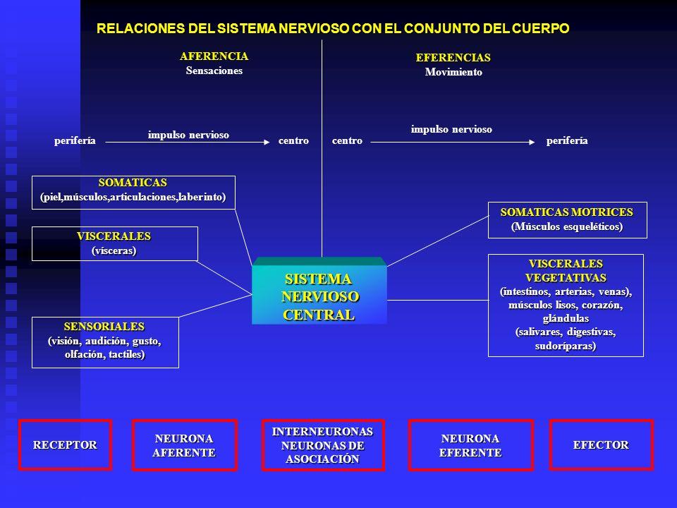 RELACIONES DEL SISTEMA NERVIOSO CON EL CONJUNTO DEL CUERPO AFERENCIA Sensaciones EFERENCIAS Movimiento SOMATICAS(piel,músculos,articulaciones,laberint
