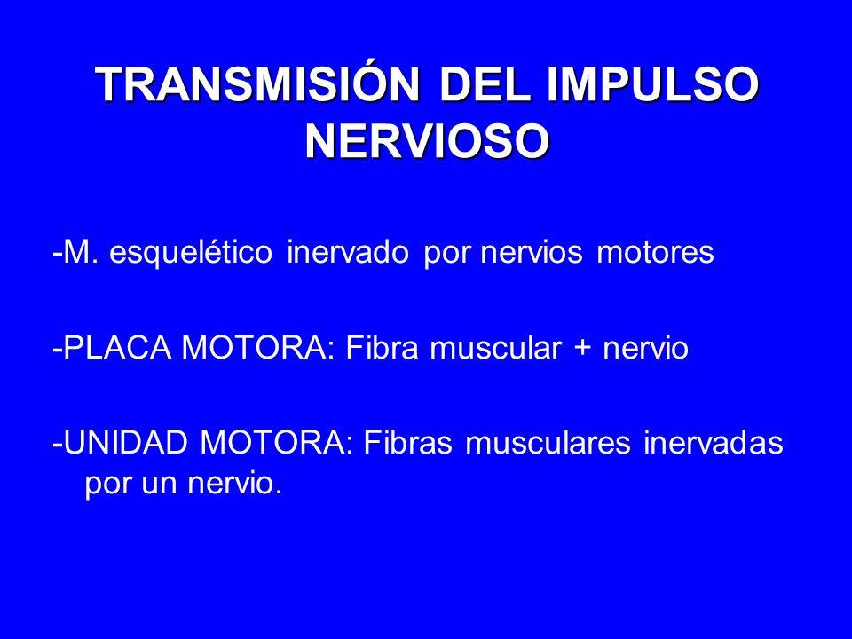 TRANSMISIÓN DEL IMPULSO NERVIOSO -M. esquelético inervado por nervios motores -PLACA MOTORA: Fibra muscular + nervio -UNIDAD MOTORA: Fibras musculares