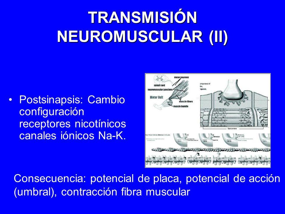 TRANSMISIÓN NEUROMUSCULAR (II) Postsinapsis: Cambio configuración receptores nicotínicos canales iónicos Na-K. Consecuencia: potencial de placa, poten