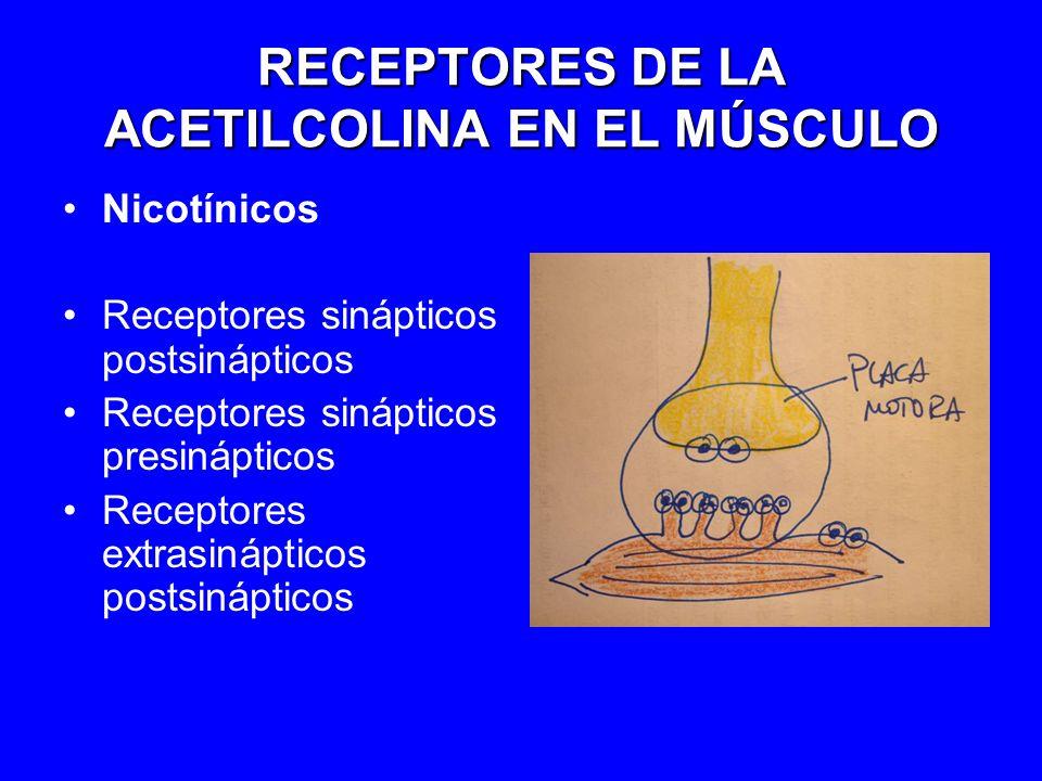 RECEPTORES DE LA ACETILCOLINA EN EL MÚSCULO Nicotínicos Receptores sinápticos postsinápticos Receptores sinápticos presinápticos Receptores extrasináp