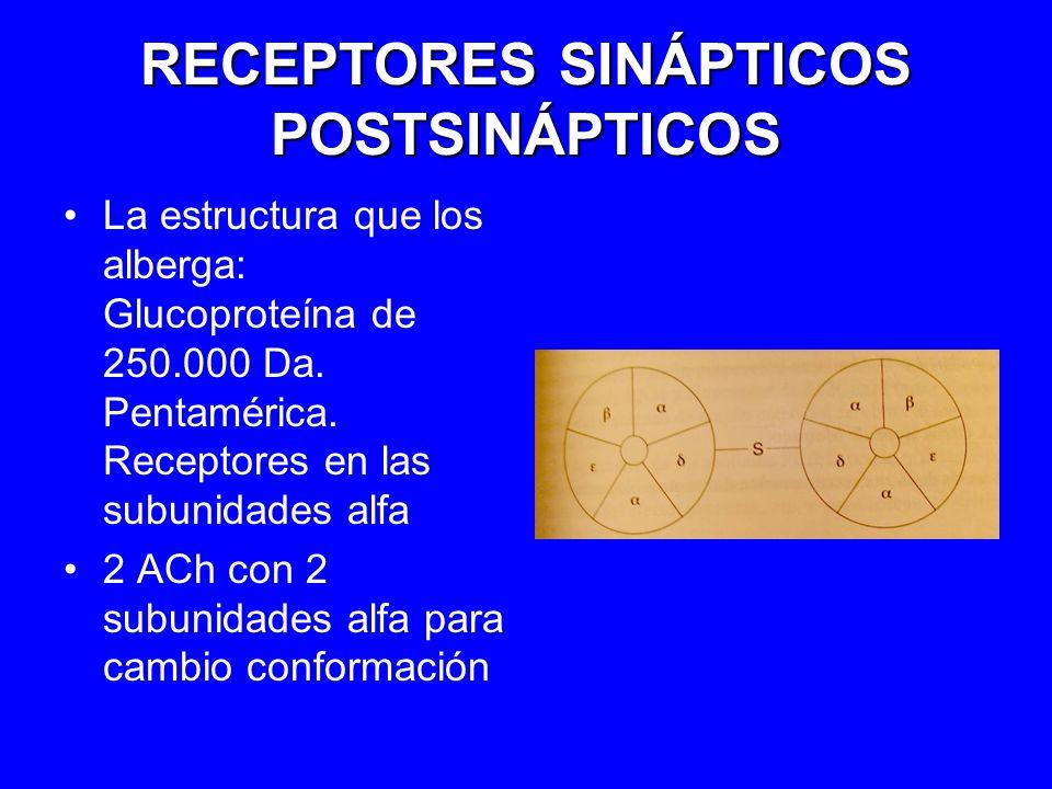 RECEPTORES SINÁPTICOS POSTSINÁPTICOS La estructura que los alberga: Glucoproteína de 250.000 Da. Pentamérica. Receptores en las subunidades alfa 2 ACh