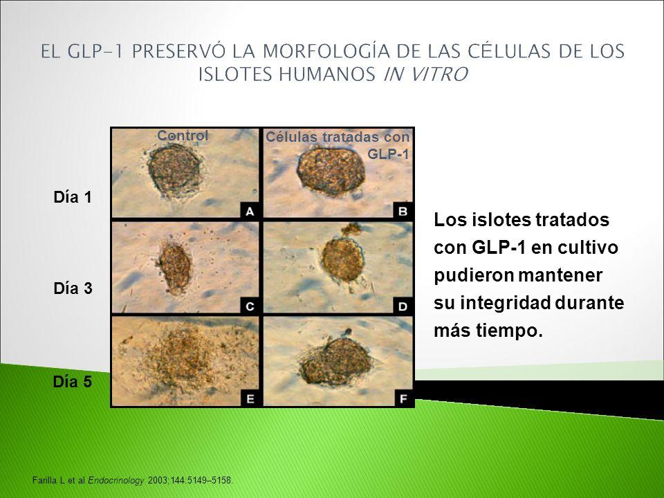 Día 1 Células tratadas con GLP-1 Control Día 3 Día 5 Farilla L et al Endocrinology 2003;144:5149–5158. Los islotes tratados con GLP-1 en cultivo pudie