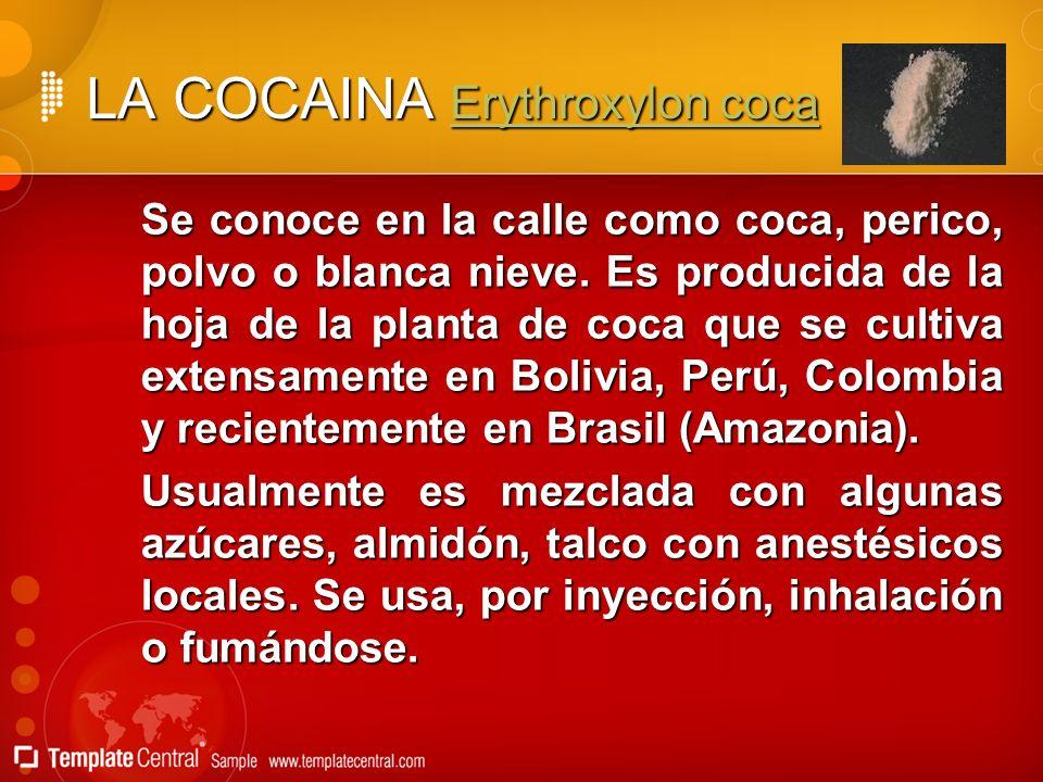 LA COCAINA Erythroxylon coca Erythroxylon cocaErythroxylon coca Se conoce en la calle como coca, perico, polvo o blanca nieve. Es producida de la hoja