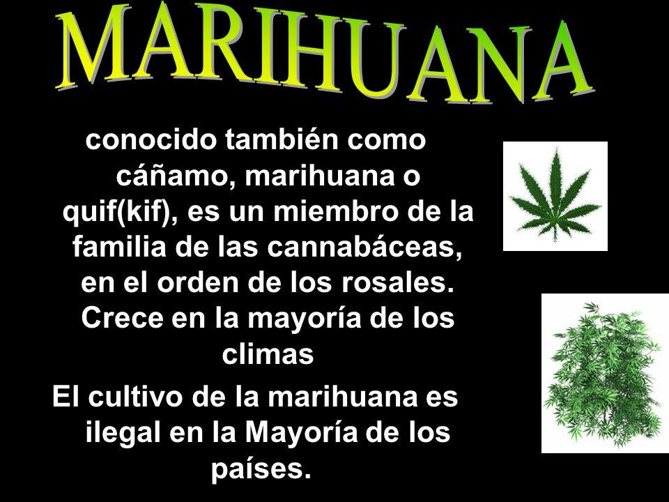 conocido también como cáñamo, marihuana o quif(kif), es un miembro de la familia de las cannabáceas, en el orden de los rosales. Crece en la mayoría d