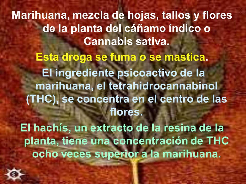 Marihuana, mezcla de hojas, tallos y flores de la planta del cáñamo índico o Cannabis sativa. Esta droga se fuma o se mastica. El ingrediente psicoact