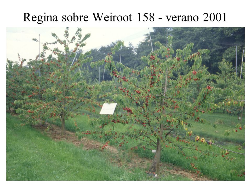 Regina sobre Weiroot 158 - verano 2001