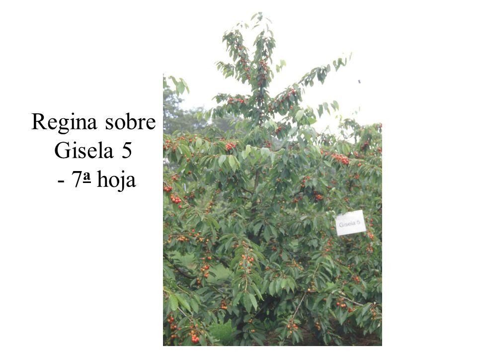 Regina sobre Gisela 5 - 7 a hoja