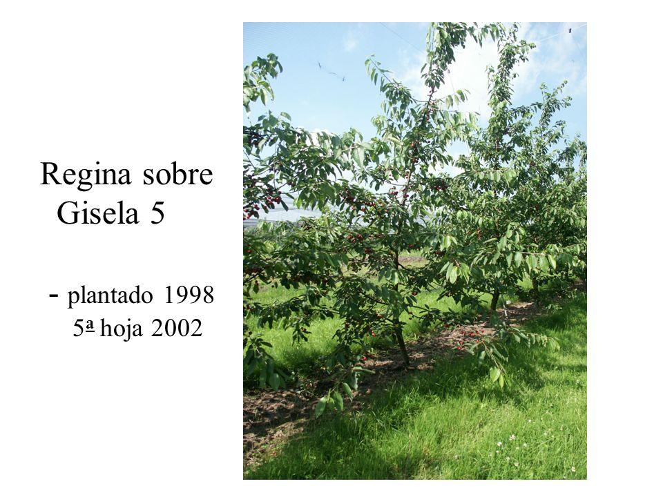 Regina sobre Gisela 5 - plantado 1998 5 a hoja 2002