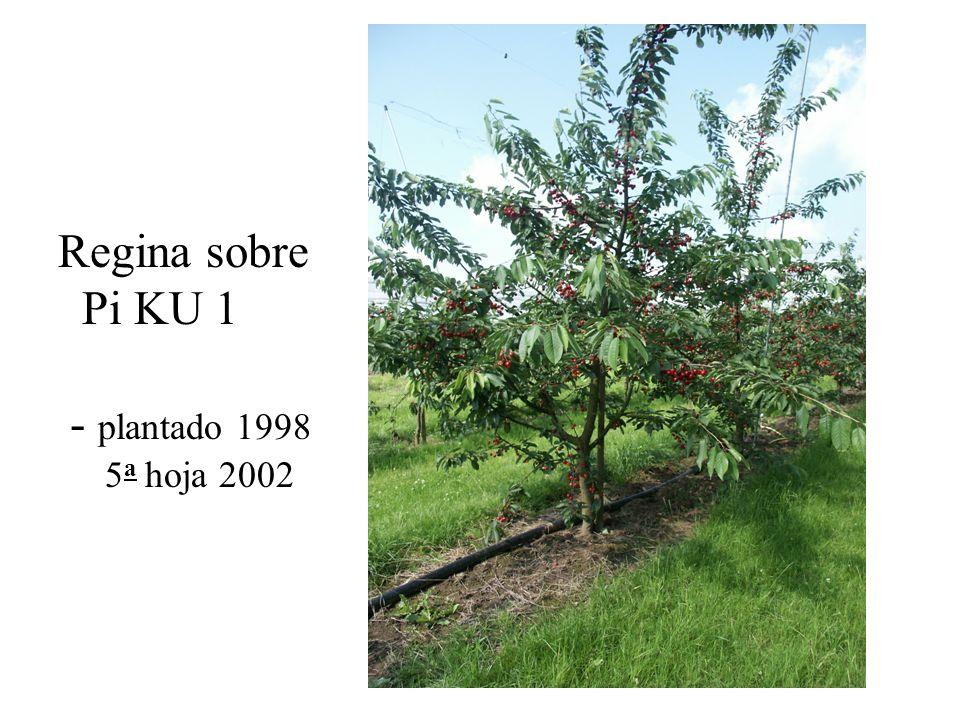 Regina sobre Pi KU 1 - plantado 1998 5 a hoja 2002