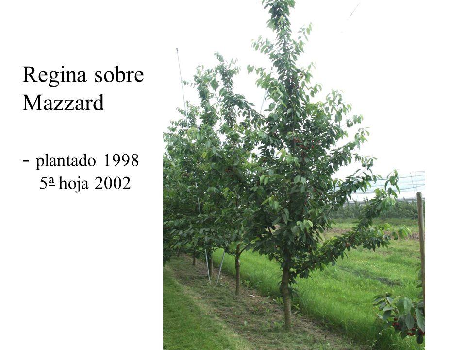 Regina sobre Mazzard - plantado 1998 5 a hoja 2002