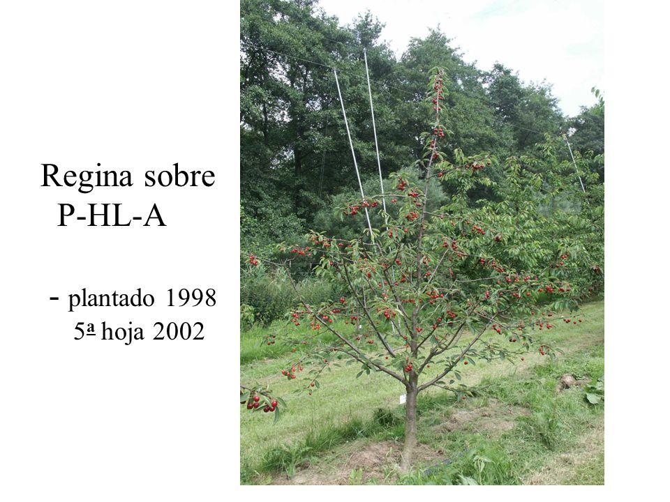 Regina sobre P-HL-A - plantado 1998 5 a hoja 2002